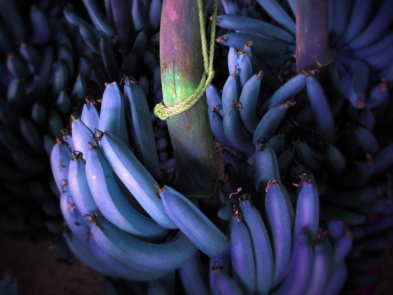 J'avais dit que je vous montrerai des bananes bleues !!!