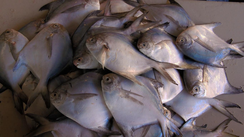 Les poissons bleus de Goa