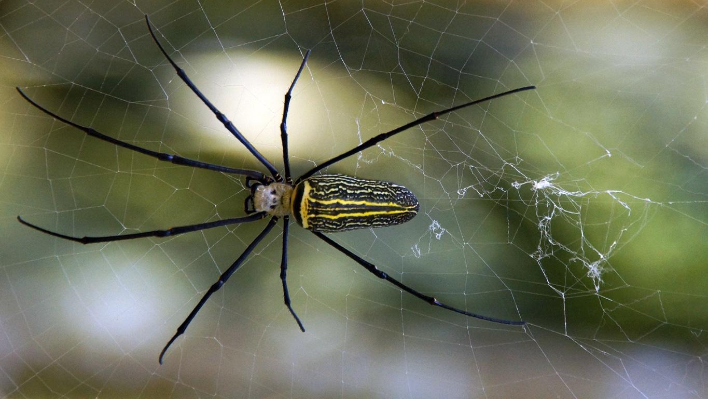 Une araignée à tête de poupée