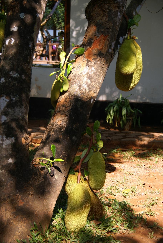 www.raconte-moi-une-image.com/ces énormes Jack-fruits ne sont suspendus que par une très fine tige