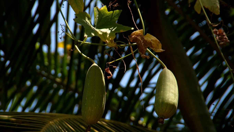 www.raconte-moi-une-image.com/ cucurbitacées le long des chemins vers Attapady