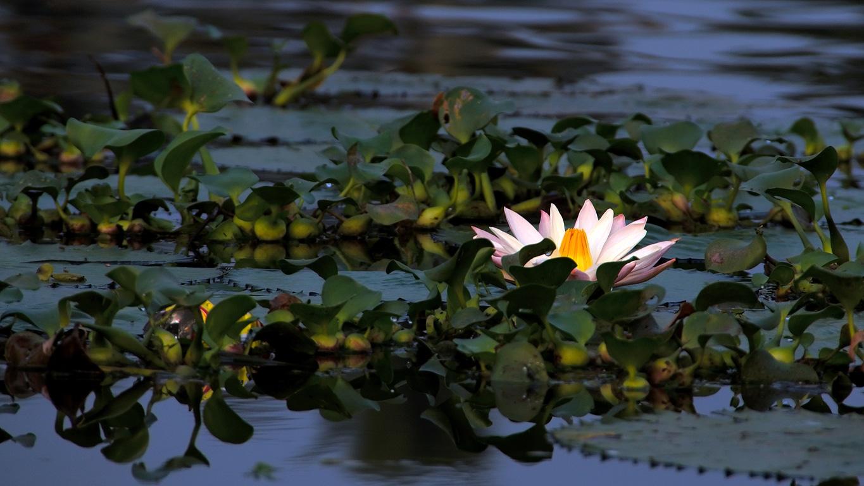 www.raconte-moi-une-image.com/nénuphar sur les backwaters