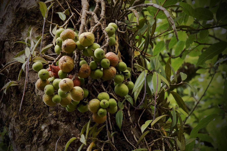 www.raconte-moi-une-image.com/et pourtant on croirait bien des figues