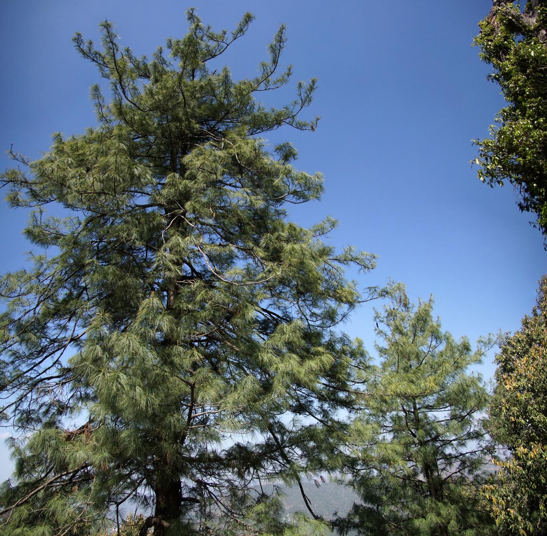 www.raconte-moi-une-image.com/conifères à Shimla