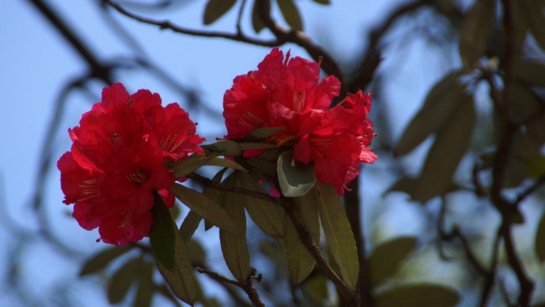 www.raconte-moi-une-image.com/Rhododendrons en fleurs à Shimla