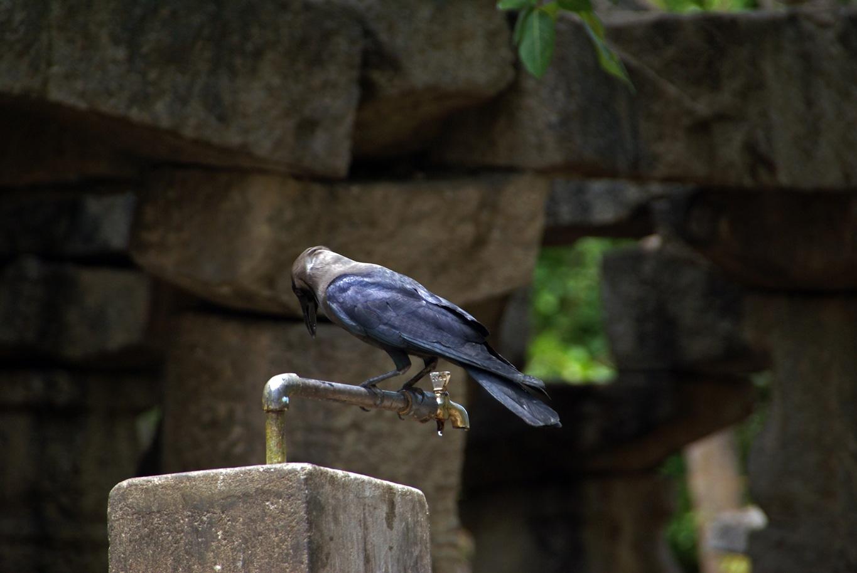 Le Corbeau familier ou Corneille de l'Inde est l'un des oiseaux indiens les plus répandus dans les villes et les villages.