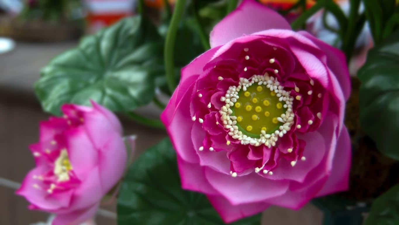 www.raconte-moi-une-image.com/superbe lotus à Bodhgaia