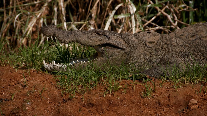 Non, le crocodile n'est pas en ciment : elle est bien bonne celle-là !!!