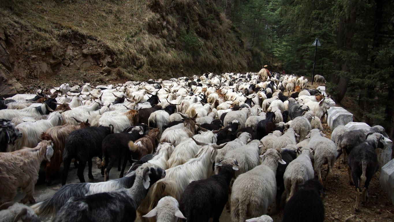 Au printemps commencent les migrations des chèvres et moutons vers les hauts pâturages de l'Himachal Pradesh