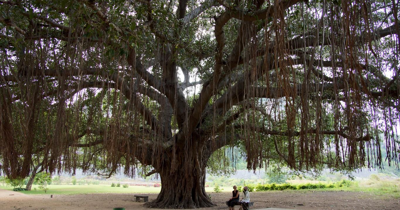 www.raconte-moi-une-image.com/un autre banian à Gingee