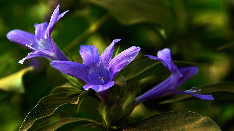 www.raconte-moi-une-image.com/modeste mais très belle fleur dans l'Himalaya