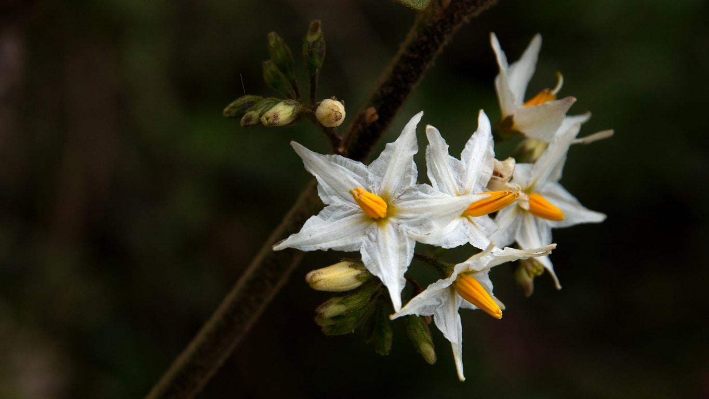 www.raconte-moi-une-image.com/une autre fleur rencontrée à Attapady