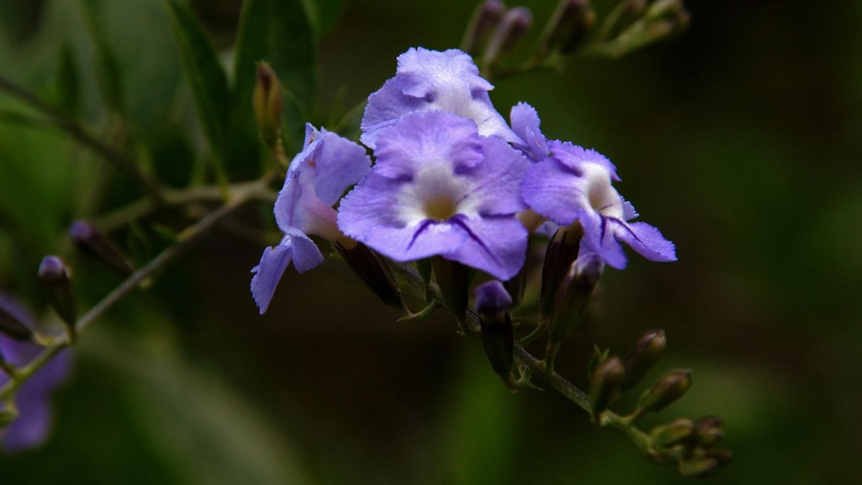 www.raconte-moi-une-image.com/une autre fleur rencontrée toujours à Attapady
