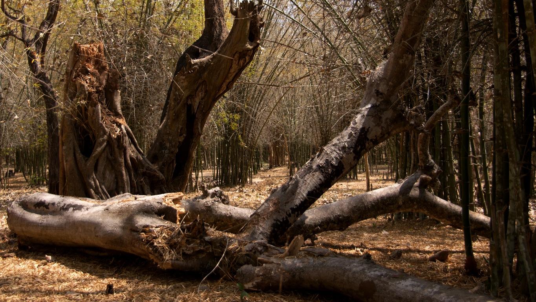 Forêt de bambous à Kushalnagar, Coorg (Karnataka)