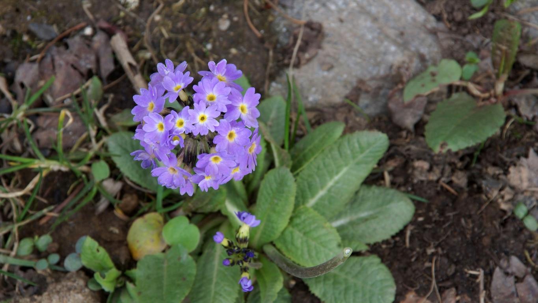 www.raconte-moi-une-image.com/fleur sauvage de l'Himalaya à Narkanda
