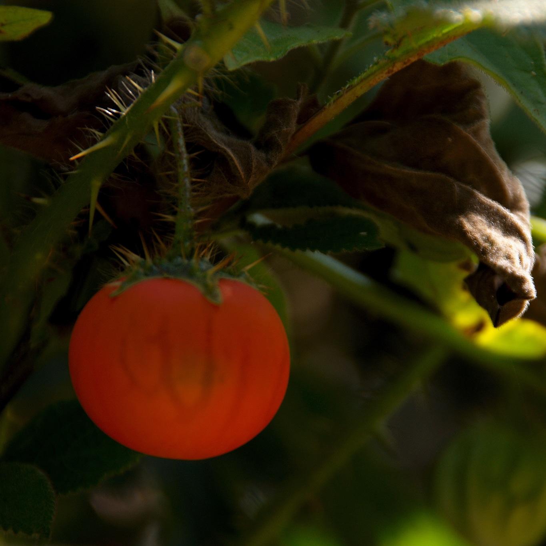 www.raconte-moi-une-image.com/non, non, ce n'est pas une tomate rencontrée à Attapady