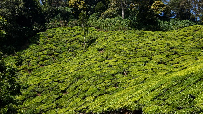 Une moquette naturelle : les plantations de thé à Munnar (Kerala)