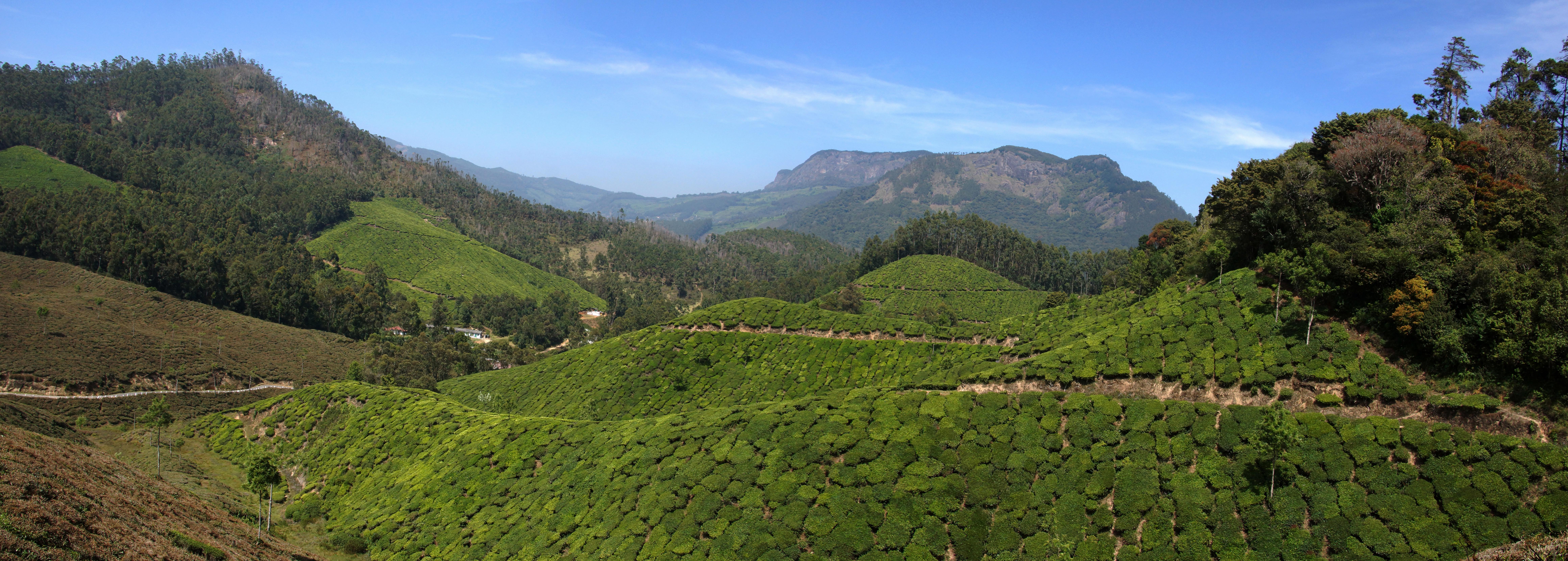 Les plantations de thé à Munnar (Kerala)