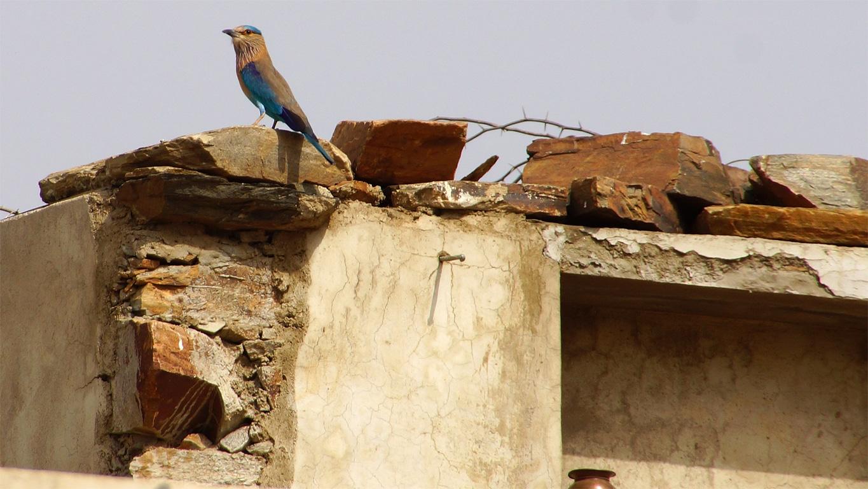 """Il est fréquent d'admirer le plumage de l'""""indian"""" roller"""" en parcourant le Rajasthan"""