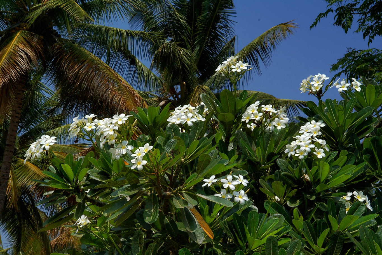 www.raconte-moi-une-image.com/pour une fois un franchipanier portant à la fois fleurs et feuilles