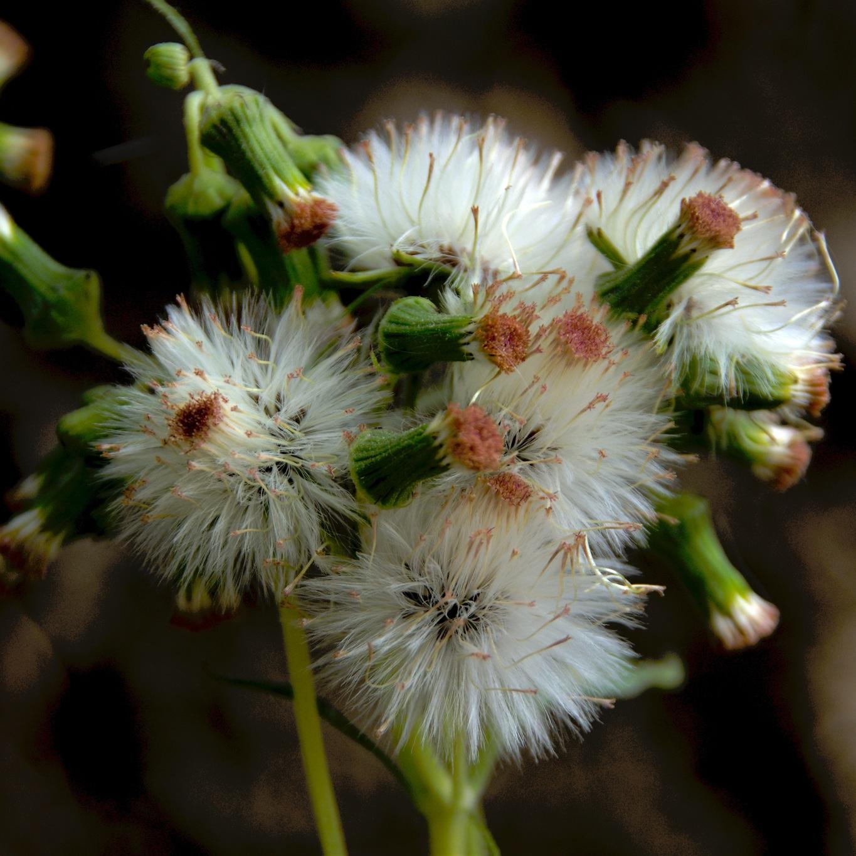 www.raconte-moi-une-image.com/ de ptits chardons soyeux sur les sentiers autour de Attapady