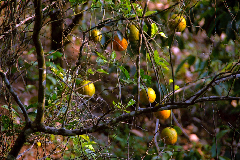 www.raconte-moi-une-image.com/un oranger sauvage dans la jungle de Attapady
