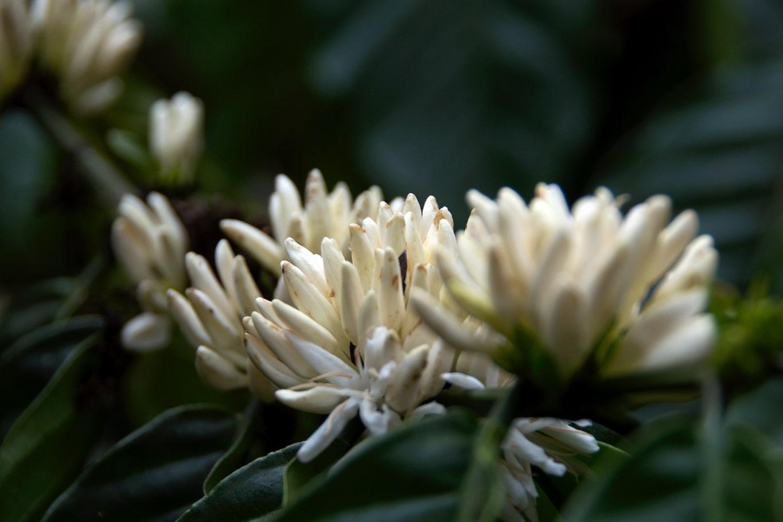 www.raconte-moi-une-image.com/fleurs de café en boutons dans le Coorg près de Madikeri