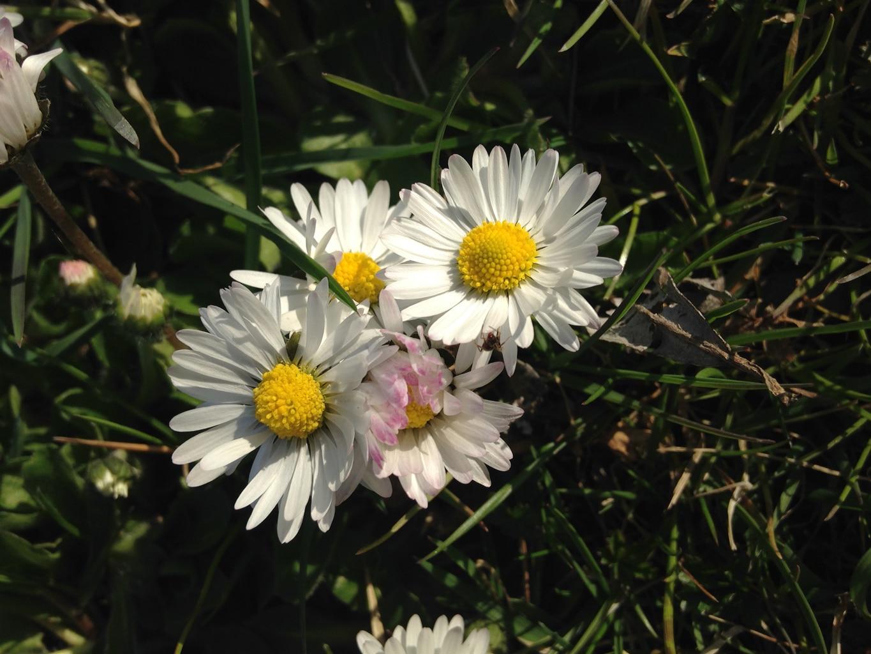La simplicité d'une modeste fleur des champs au printemps, n'a rien à envier à la sophistication d'une espèce cultivée en serre