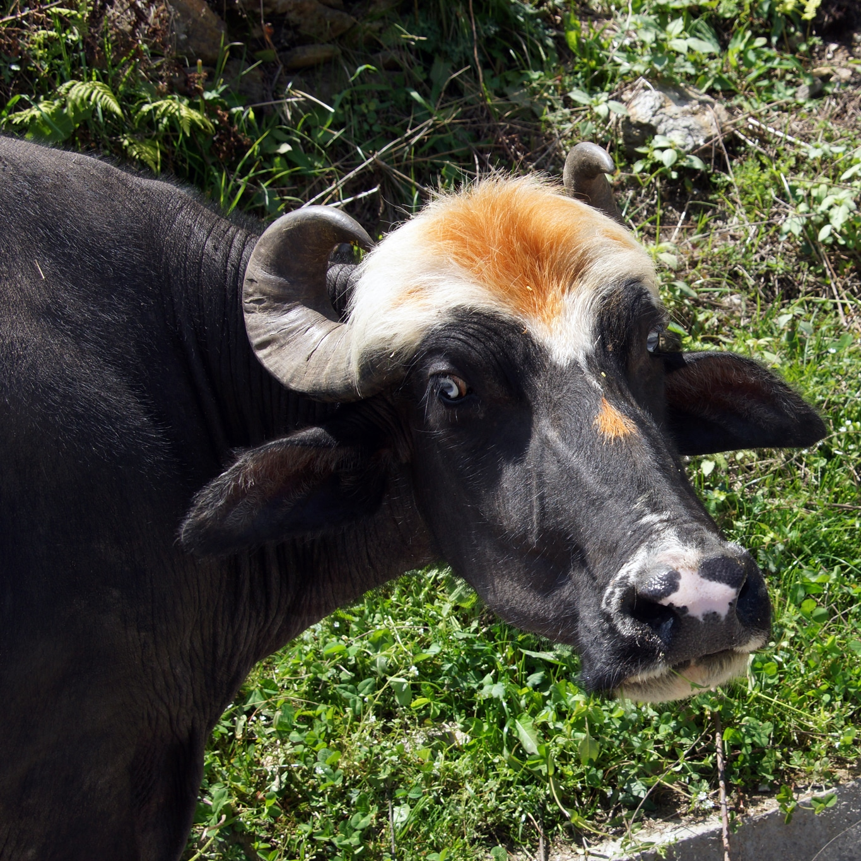 Sarahan (Himachal Pradesh) : une bufflone coquette